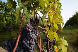 Le vigne delle Langhe