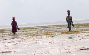 Donne intente nella raccolta delle alghe a Zanzibar