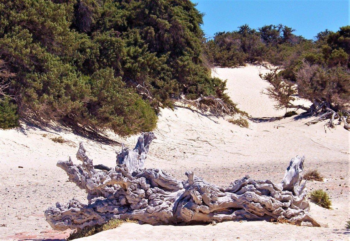 la foresta di cedri sull'Isola di Chrissi
