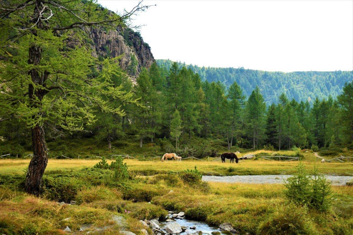 I cavalli in libertà all'interno della valle di Predarossa in Lombardia
