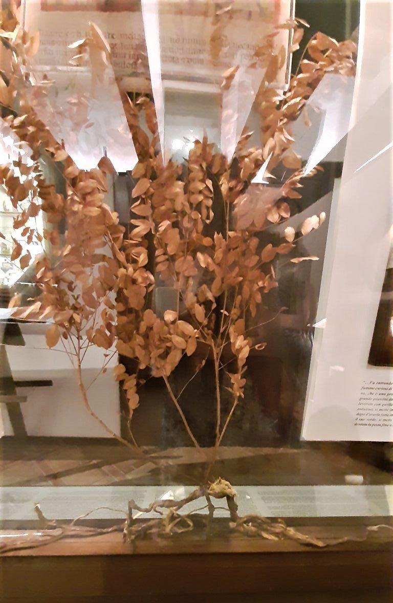Una pianta di liquirizia calabrese